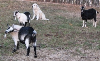 Two white with black goats, a black with white goat and a sitting Great Pyrenees dog are in a field together