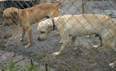 Two Florida/Cracker Curs, one brown and one tan, are standing in front of a chain link fence. They are looking down at something on the other side of the fence