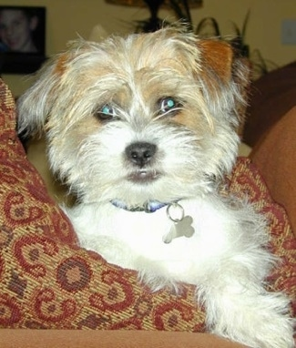 Close Up upper body shot - A white with brown wiry-looking Fo-Tzu puppy is laying on a pillow on top of a couch