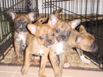 A litter of four French Bullhuahua puppies are on the floor between two dog crates. The middle two puppies are pushing against each other and moving forward. A pup on the right is sniffing a pen. The pup on the left is sitting and looking forward with its tongue out a little