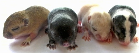 Front view - A line of 4 baby gerbils are in a row facing forward standing on a white surface.