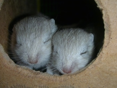 Close up head shots - Two tan gerbils are sleeping in a hole.