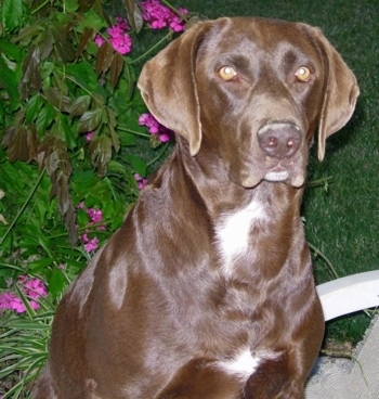 A chocolate with white German Shorthaired Labrador is sitting in a lawn chair in front of a large plant that has small purple flowers on it.