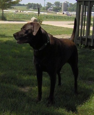 A chocolate German Shorthaired Labrador is standing in a yard and in front of a wooden deck.