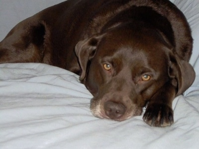 Close Up - A chocolate German Shorthaired Labrador is laying on a human's bed