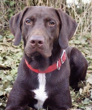 german shorthaired lab his dad is a purebred german shorthair pointer