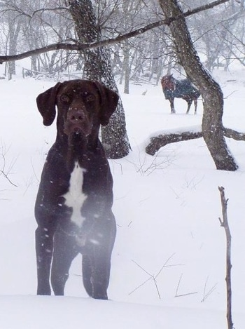 A chocolate with white German Shorthaired Labrador is standing in snow and looking forward. The snow is actively falling. There is a horse wearing a blue coat in the background.
