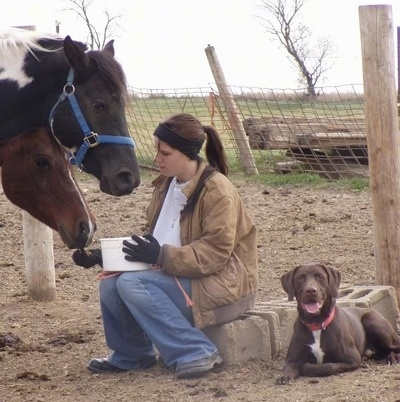 A Lady is feeding two different horses, a black with white and a brown with white horse. A chocolate with white German Shorthaired Labrador is laying next to cinder blocks behind them.