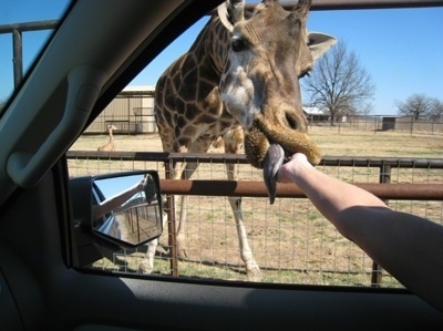 Feeding a giraffe at Arbuckle Wilderness