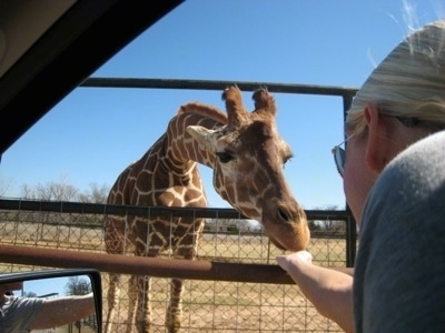Giraffe standing on grass with its head in between the fence being fed by a person