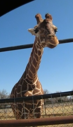 Giraffe standing behind a fence looking into a car