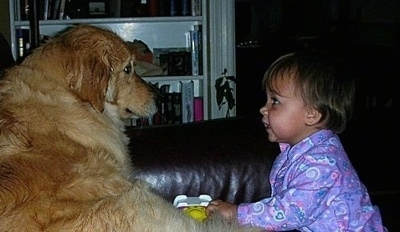 A Golden Retriever is sitting on a couch looking at a baby who is looking back at the dog. There is a book shelf next to them.