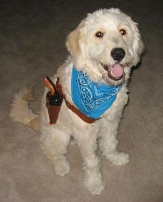 A cream colored Goldendoodle is sitting on a tan carpet dressed up as a cowboy. It is wearing a blue bandana and a gun with a holster