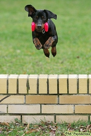 Action shot - A black and tan Polish Hunting dog is jumping in mid-air over a short brick wall. It has a pink dumbbell weight in its mouth