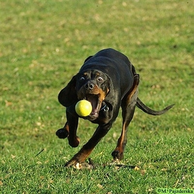 Action shot - A black and tan Polish Hunting dog is attempting to catch a tennis ball that is in mid-air. The dog has wild eyes.