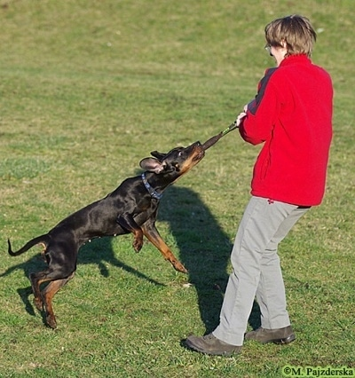 A black and tan Polish Hunting dog is biting onto a leather strap. A person is spinning around with it in there hands. The Polish Hunting dog is spinning through the air