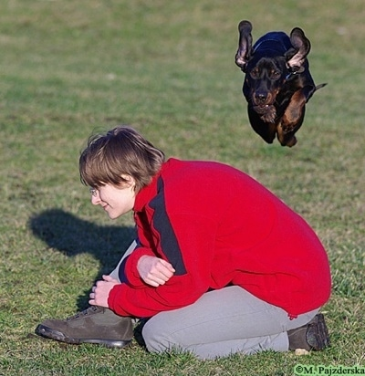 Action shot - A black and tan Polish Hunting dog is in mid-air jumping over a kneeling person in a red and blue fleece shirt.