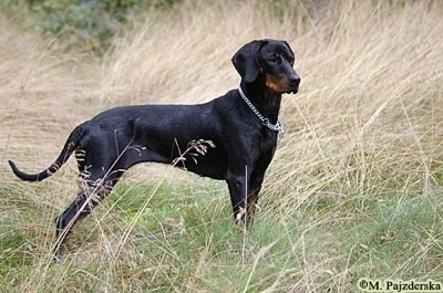 A black and tan Polish Hunting dog is standing in a field of tall brown and green grass