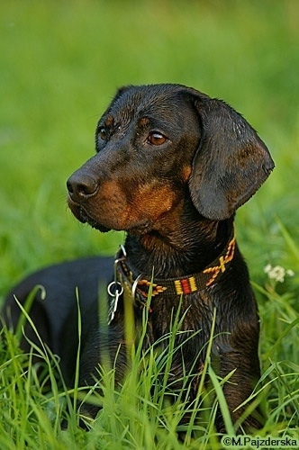 A wet black and tan Polish Hunting dog is laying in a field of tall grass