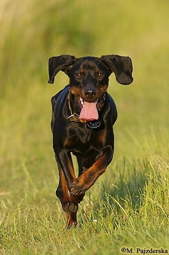 Action shot - A Polish Hunting dog is running through a feild of grass with its mouth open and tongue out and ears flopping up