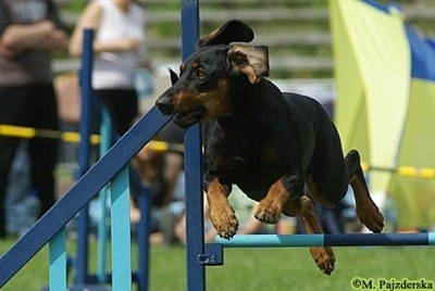 Action shot - A black and tan Polish Hunting dog is jumping over a light blue pole on an agilty course with people watching in the background.