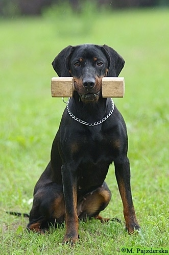 A Polish Hunting dog is sitting in a field and it has a wooden dumbbell weight in its mouth