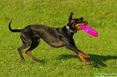 Action shot - A Polish Hunting dog is running to a stop. It has a pink frisbee in its mouth