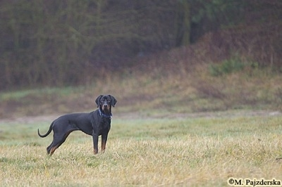 A black and tan Polish Hunting dog is standing out in a field.