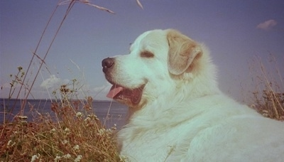 A Great Pyrenees is laying in tall brown dried flowers with a view of a large body of water behind it. Its mouth is open and its tongue is sticking out looking happy and content.
