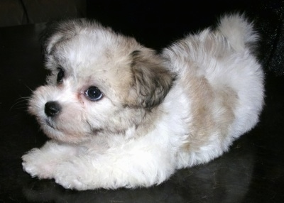A furry little white and tan Havachon puppy is kneeling on a fuzzy blanket