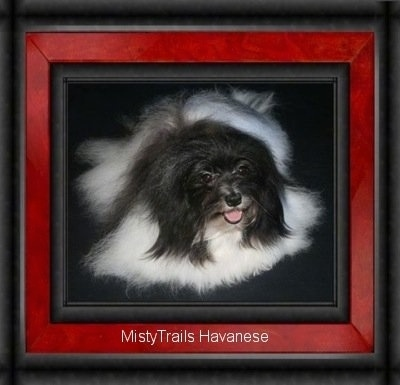 A white with black Havanese is laying on a carpet. Its mouth is open and tongue is out. The frame of the image looks like a red and black picture frame