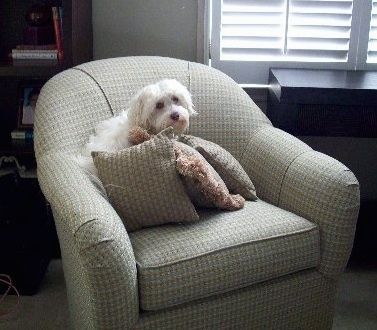 A small breed, white Havanese dog is sitting on a tan chair behind tan pillows looking forward.