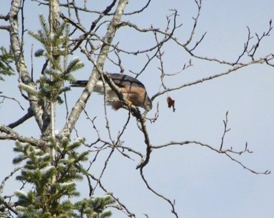 Sharp-shinned Hawk looking down from the tree