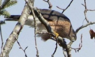 Sharp-shinned Hawk perched in a tree
