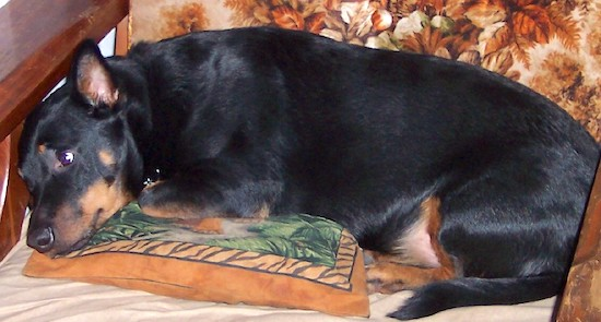 Side view - A perk-eared, short-legged, black with tan Rottweiler/Welsh Pembroke Corgi is laying in a wooden arm chair that has a brown floral print cushion.