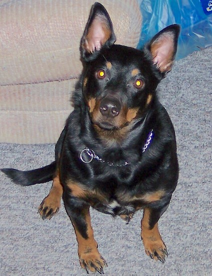 Bear, the Rottweiler (mother) and Welsh Pembroke Corgi (father) hybrid