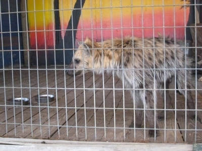 The front left side of a Hyena that is standing  behind a fence on a wooden platform, inside of a cage.