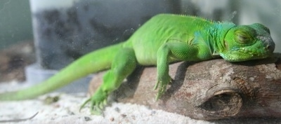 Close up side view - A bright green Iguana is laying across a log sleeping.