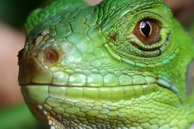 Close up head shot - A bright green iguana's face. It has brown eyes.