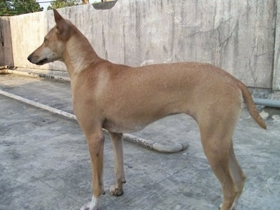The left side of a tall, perk-eared, short-haired, tan with white Pariah Dog that is standing on a concrete roof looking to the left. The dog's tail is being held low.