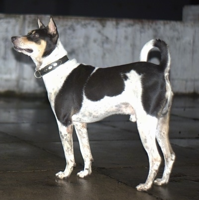 The left side of a perk-eared, white with black and tan Pariah dog standing on a roof looking up and to the left. The dog's tail is up and curled over its back.