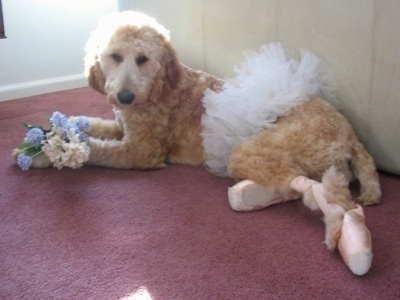 A tan Irish Doodle dog is wearing a tutu and ballerina shoes. There are flowers in its front paws