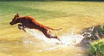 Action shot - A red Irish Setter is jumping into a body of water.