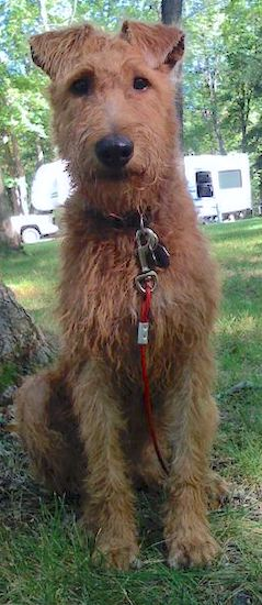 An Irish Terrier is sitting in grass next to a tree.