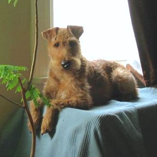 An Irish Terrier is laying on a table that is covered with a green blanket in front of a window