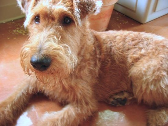 Close Up - An Irish Terrier is laying on the floor with a potted plant behind it.