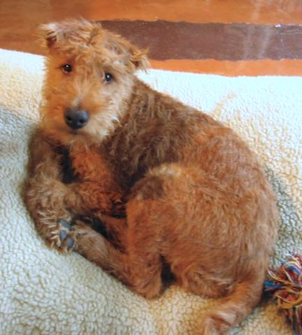 An Irish Terrier is laying on a white dog bed.