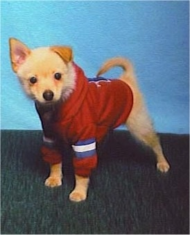 A tan with white Jack-A-Ranian puppy is wearing a red with white and blue hoodie. It is standing in front of a blue wall
