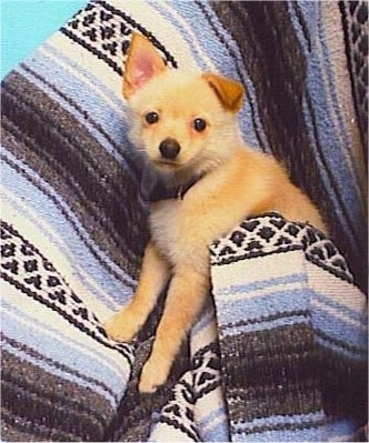 A tan with white Jack-A-Ranian puppy is wrapped in a white, blue, brown and black striped blanket and looking up