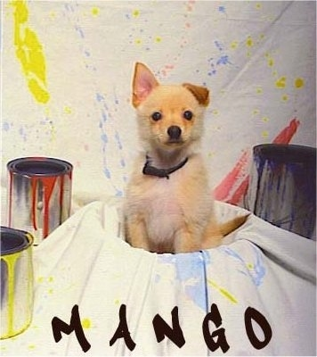 A tan with white Jack-A-Ranian puppy is sitting in a bucket that has a painting drop cloth tarp over it. There are paint buckets and paint splatters around it. The word - MANGO - is overlayed at the bottom of the screen